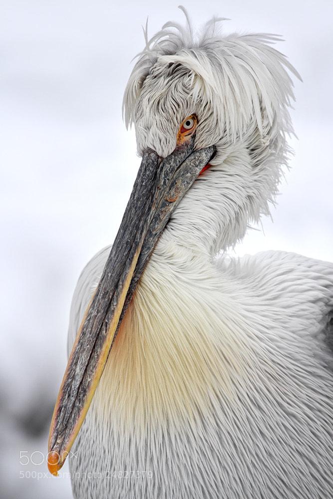 Photograph Krauskopfpelikan by Helmut Lager on 500px