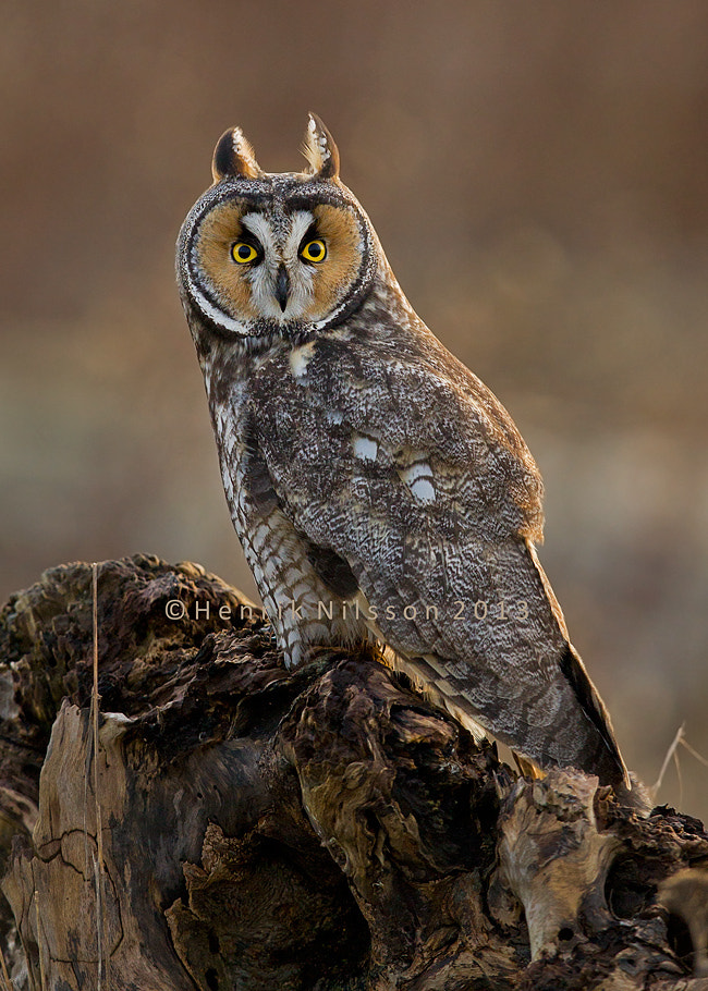 Photograph A Glaring Look by Henrik Nilsson on 500px