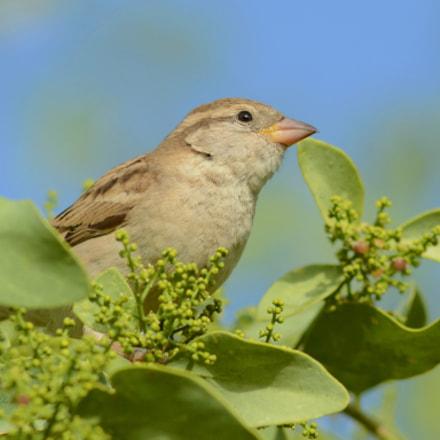 sparrow, Nikon D7100, AF Nikkor 300mm f/4 IF-ED