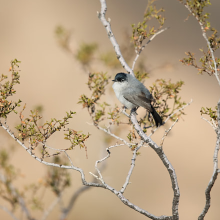 Black-capped Gnatcatcher, Canon EOS 5D MARK IV, Canon EF 500mm f/4L IS II USM