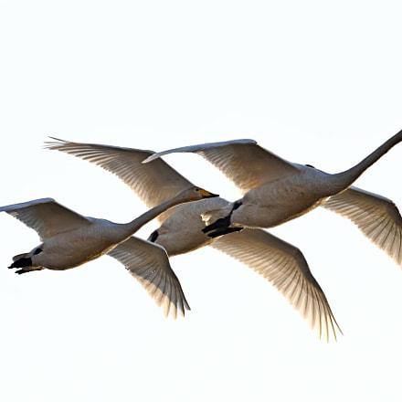 Whooper  Swan, Nikon D850, AF-S VR Nikkor 600mm f/4G ED