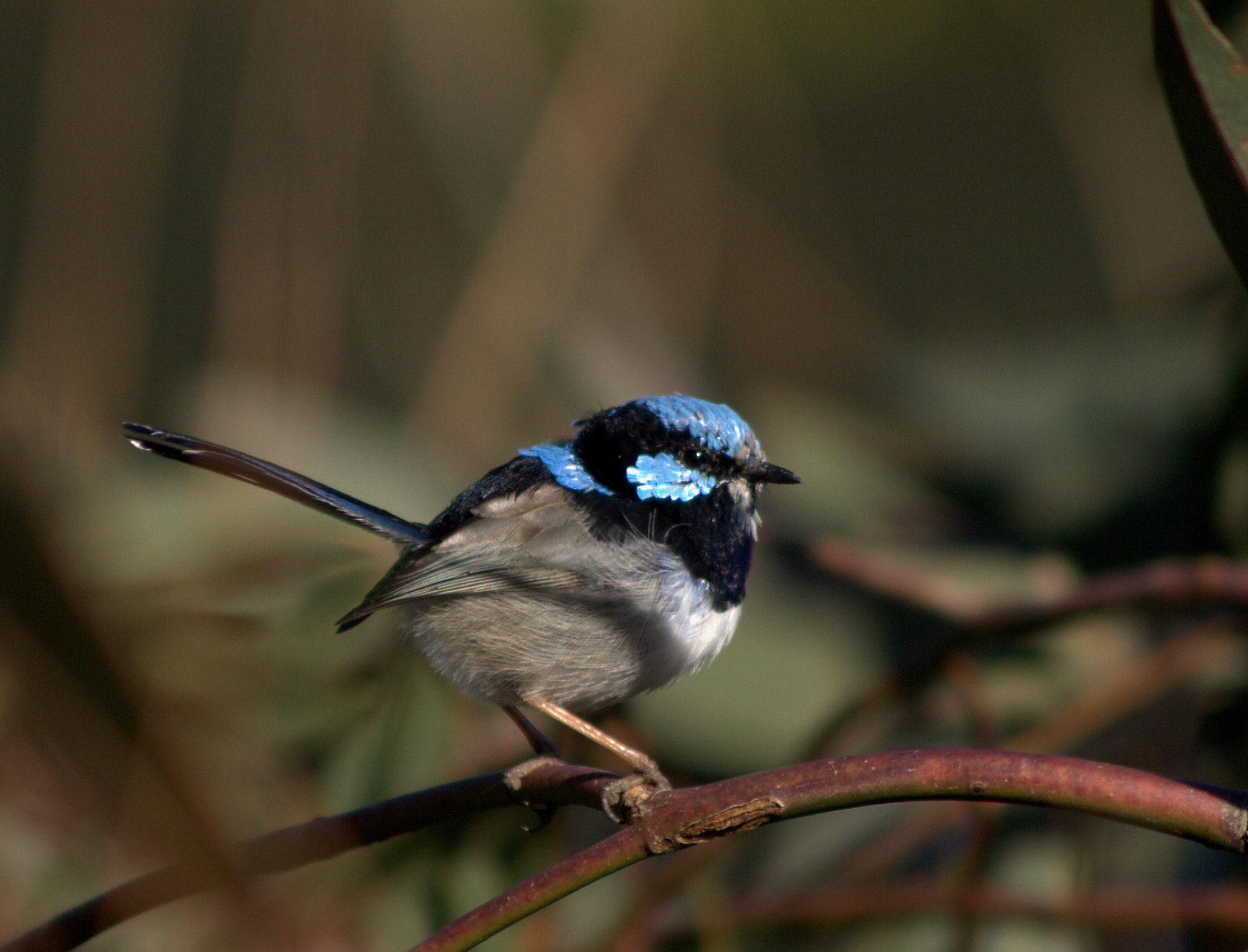 Photograph ~Blue Wren~ by Debbie Linkevics on 500px