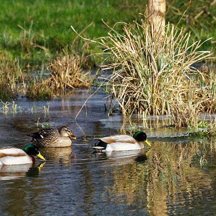 family of mallard ducks, Sony ILCE-7, Sony FE 70-200mm F4 G OSS