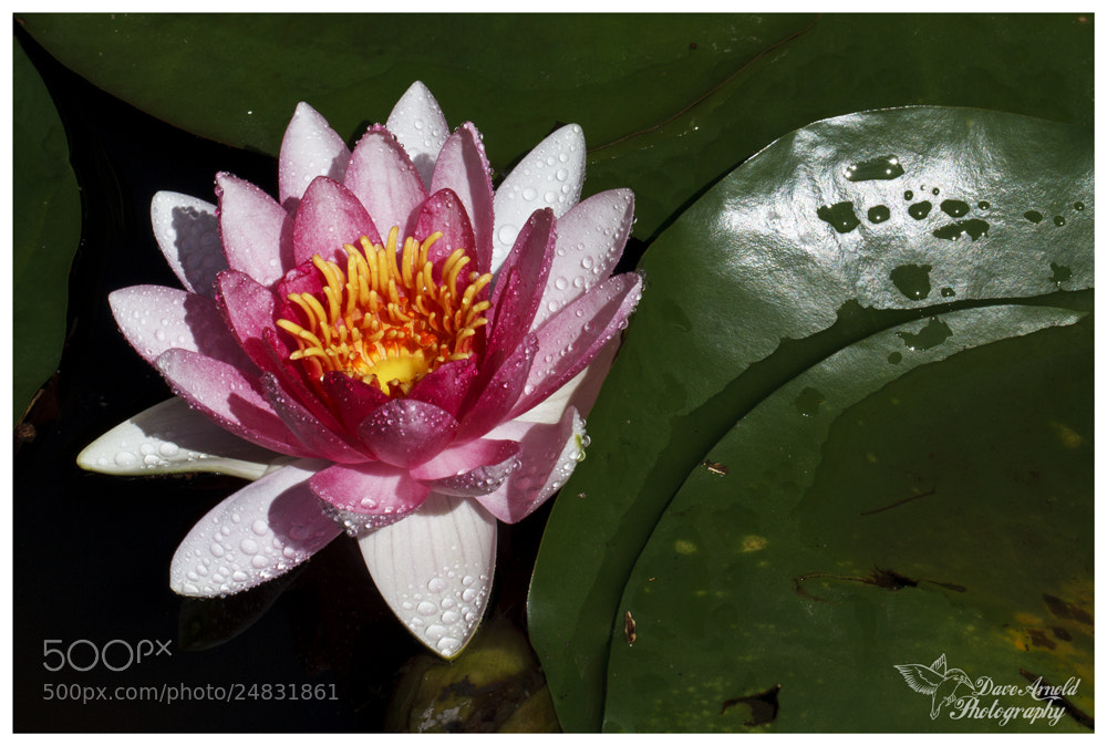 Photograph Water Lily by David Arnold on 500px