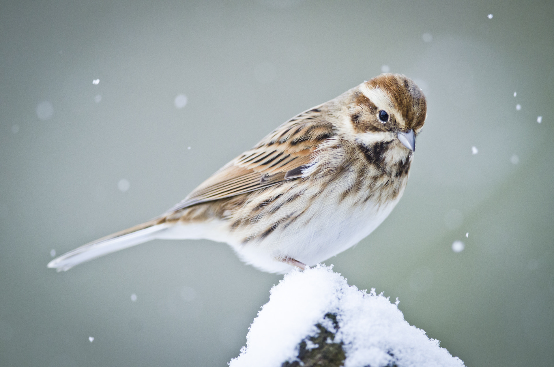 Photograph Female Reed Bunting  by Luke Millward on 500px