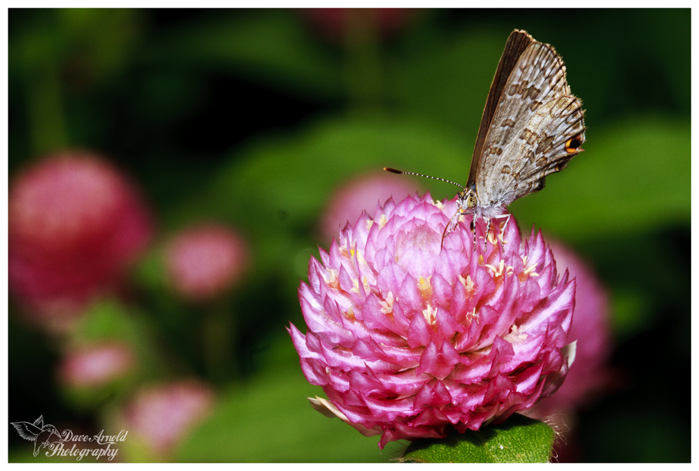 Photograph Butterfly Pink Flower by David Arnold on 500px