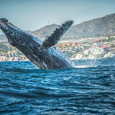 Yubarta whale dancing