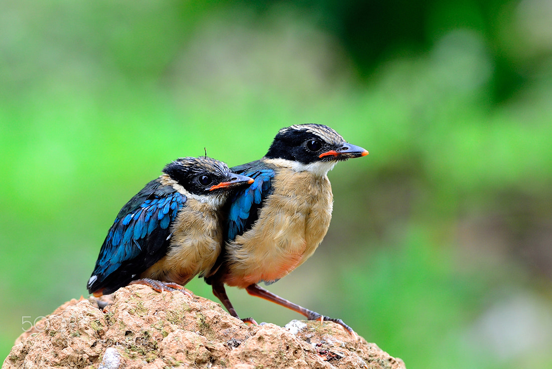 Photograph Blue-winged Pitta by Tea Maeklong on 500px