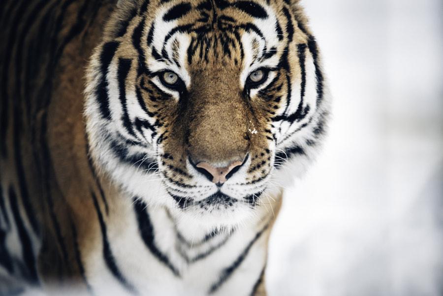 Bengal Tiger by Yusun Chung | 500px.com