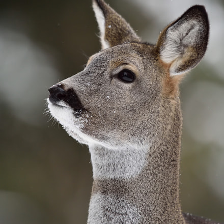 Young roe deer portrait, Nikon D4S