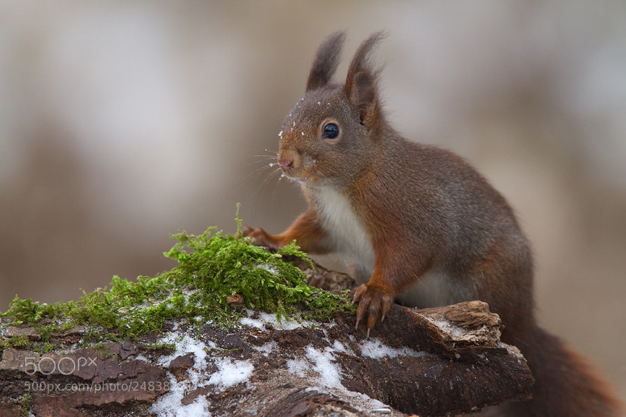 Photograph Red Squirrel by Andy Luberti on 500px