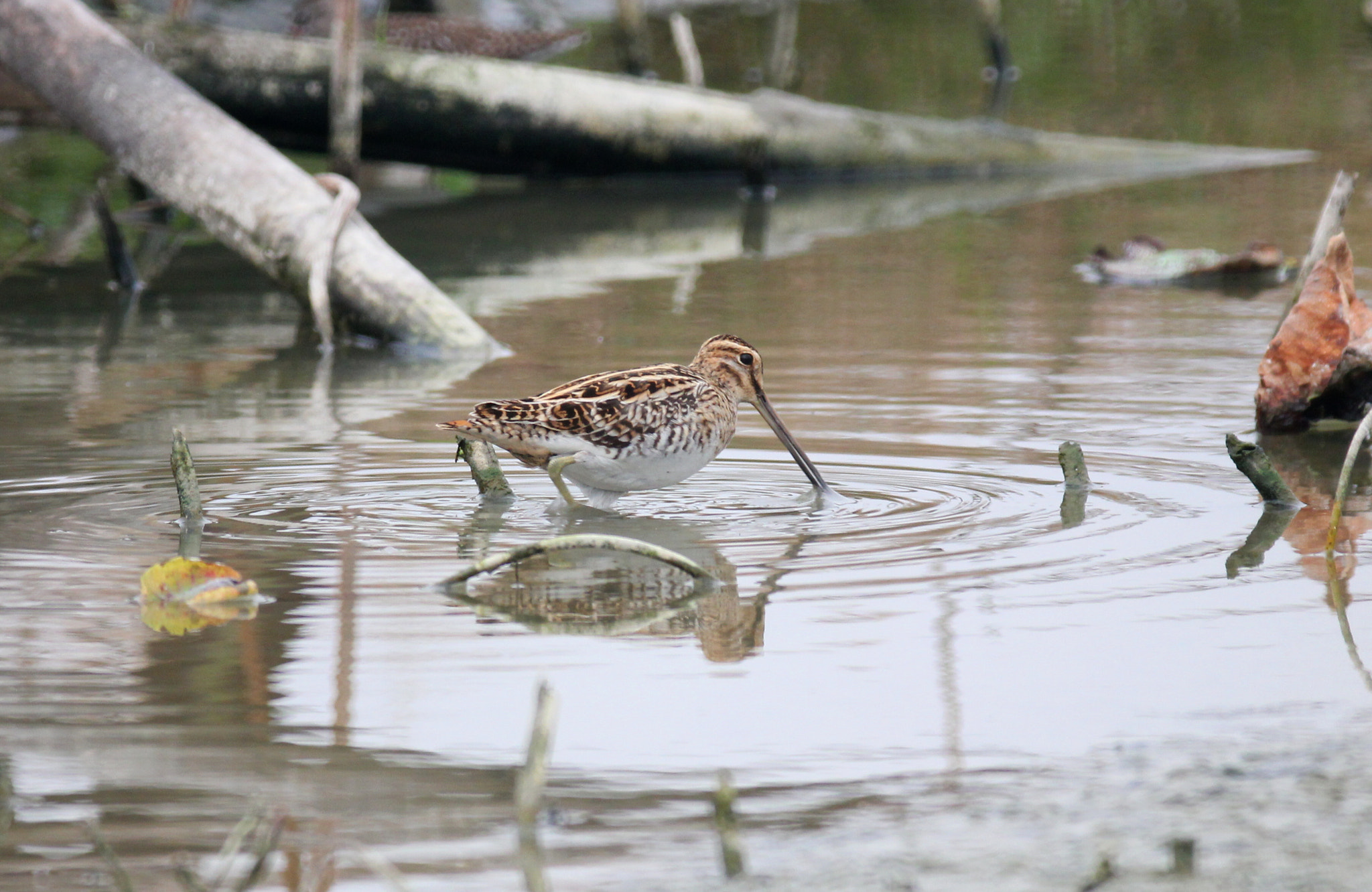 Photograph common snipe, gallinago gallinago by centre centre on 500px