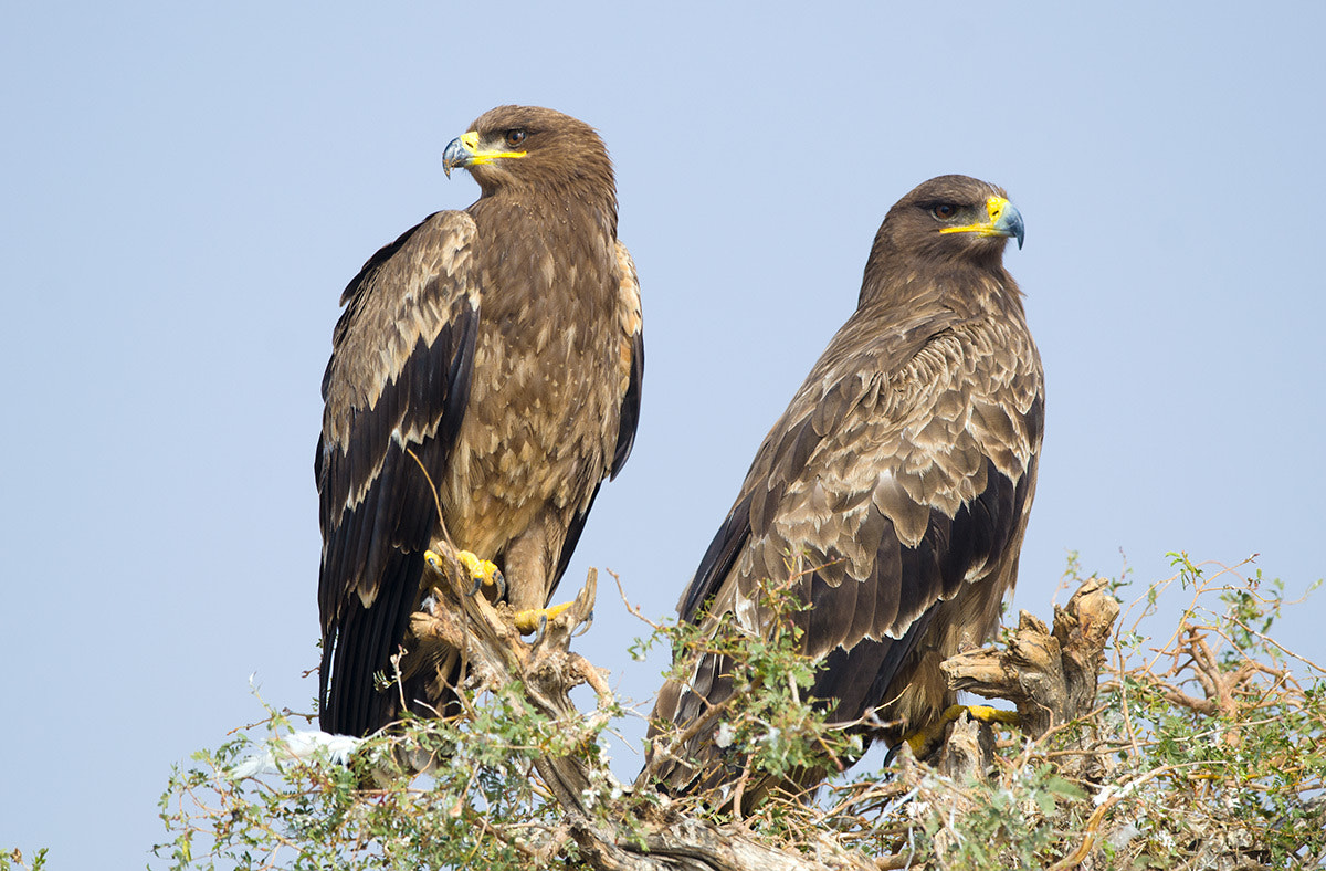 Photograph Steppe Eagle's by Rajesh Shah on 500px