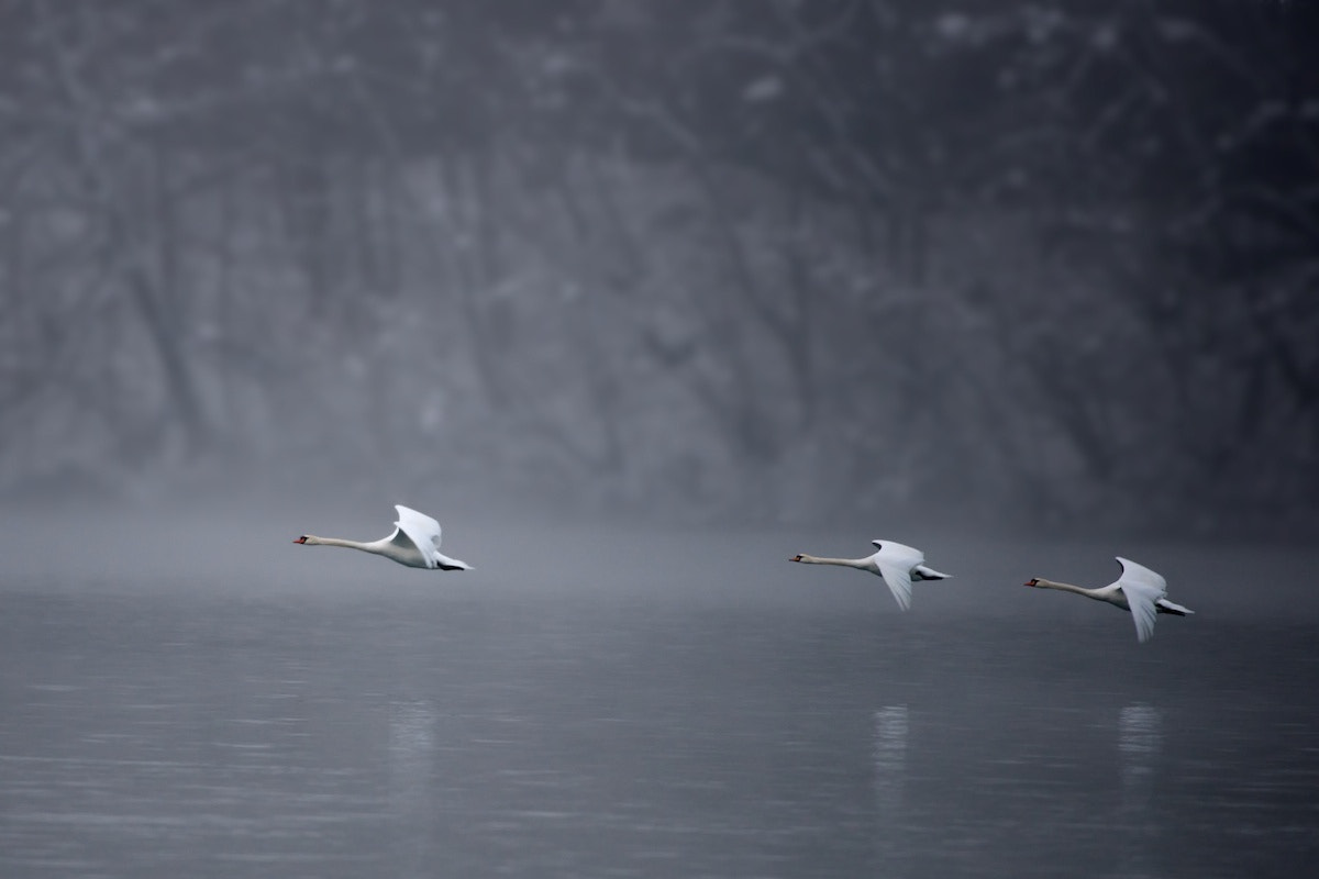 Photograph Swans in flight by Matija Horvat on 500px