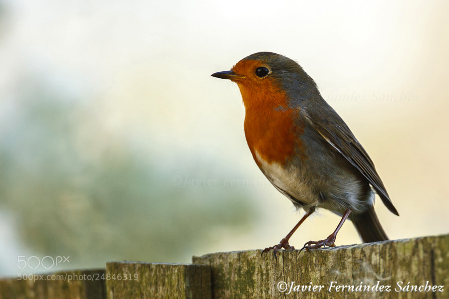 Photograph Robin by Javier Fernández Sánchez on 500px