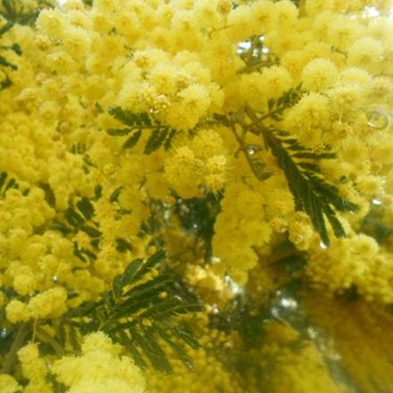 Mimosa.jpg, Nikon COOLPIX S2900
