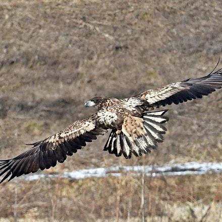 White tailed Sea Eagle, Nikon D500, AF-S VR Zoom-Nikkor 200-400mm f/4G IF-ED