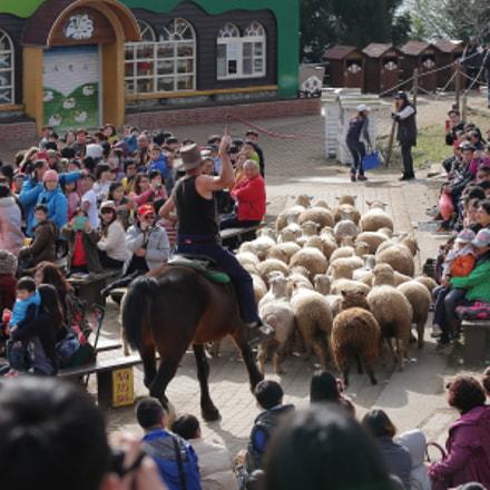 sheep, Canon EOS 5D