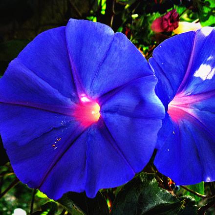 Blu flower, Canon POWERSHOT A2000 IS