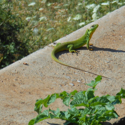 Lizard, Nikon COOLPIX S6200