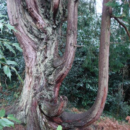 Knarly tree, Sony DSC-W100