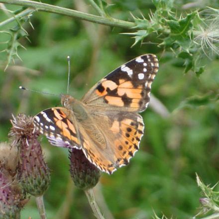 Butterfly, Sony DSC-W100