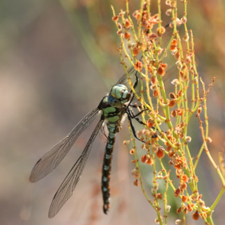 dragonfly, Canon EOS 450D, Sigma 70-300mm f/4-5.6 [APO] DG Macro