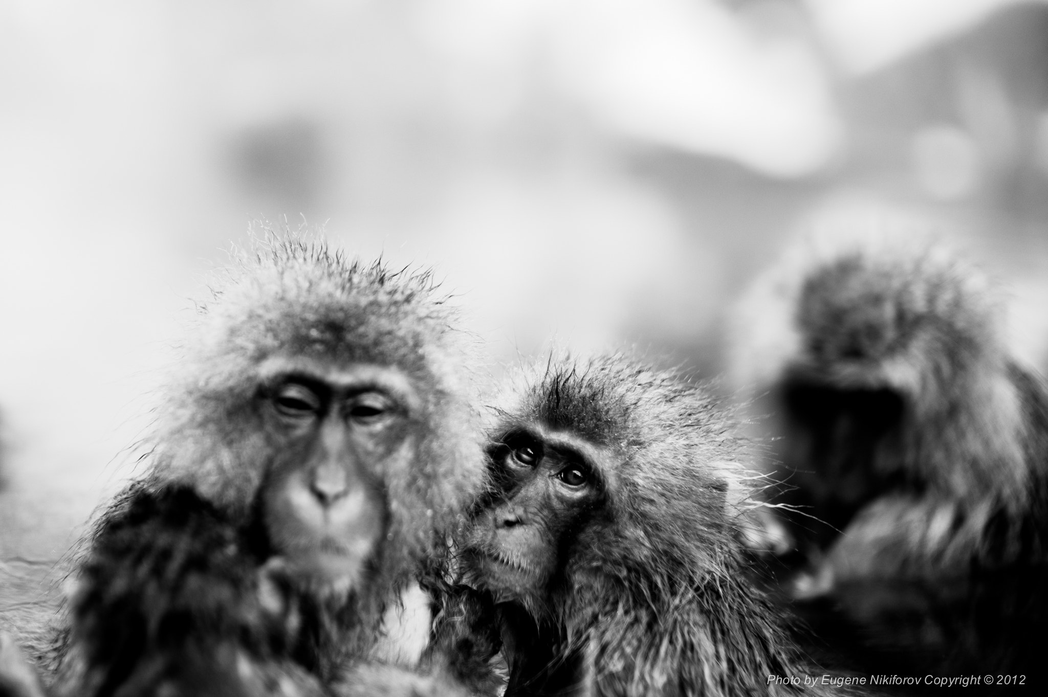 Photograph  Jigokudani Monkey Park, Nagano, Japan by Eugene Nikiforov on 500px