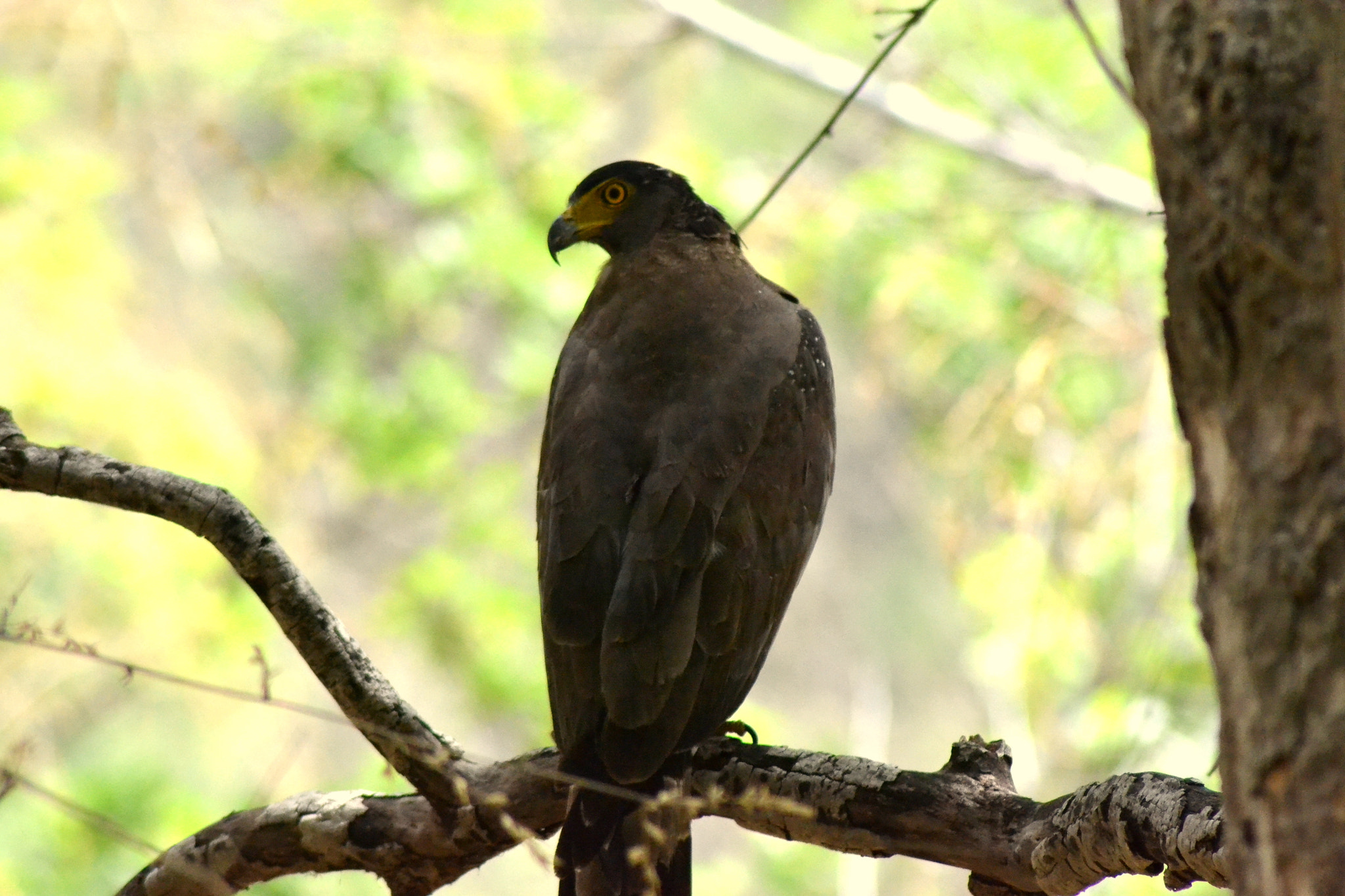Photograph The Crested Serpent Eagle (Spilornis cheela) by Abhinandan Shukla on 500px