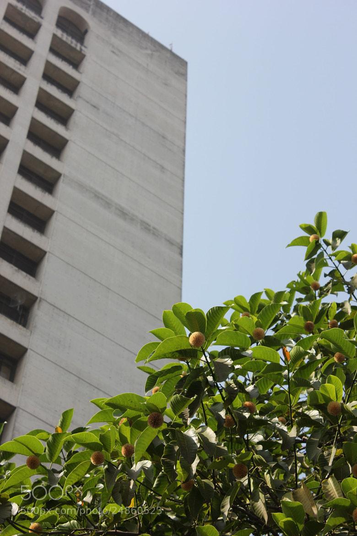 Photograph কদম্ব ফুল (Neolamarckia cadamba) by Morshad Alam on 500px