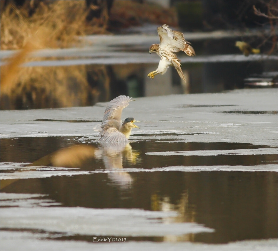 Photograph Hawk VS Heron by Eddie Yu on 500px
