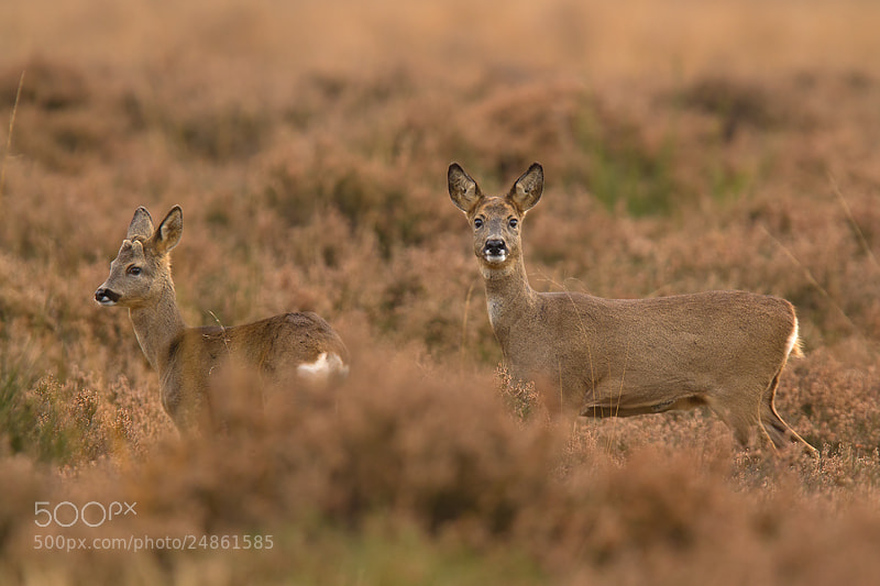 Photograph Roe deers by Andy Luberti on 500px