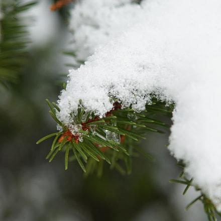 Snow Pine, Sony ILCE-6300, Tamron 18-270mm F3.5-6.3 Di II PZD