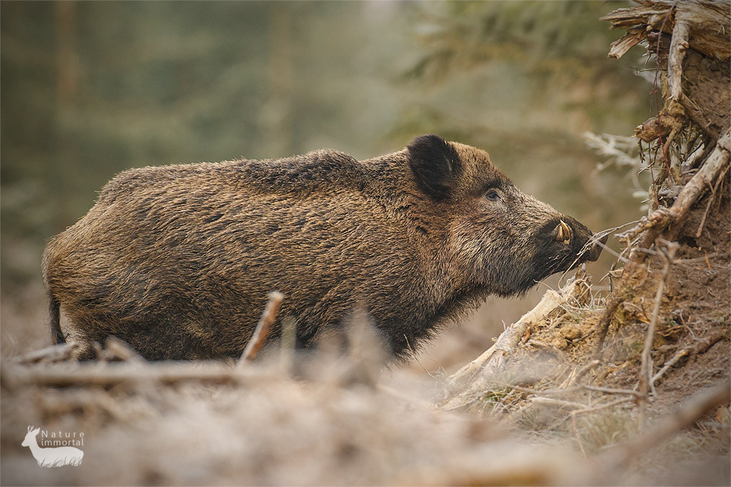 Photograph Wild boar in frosty forest by Neil Burton on 500px