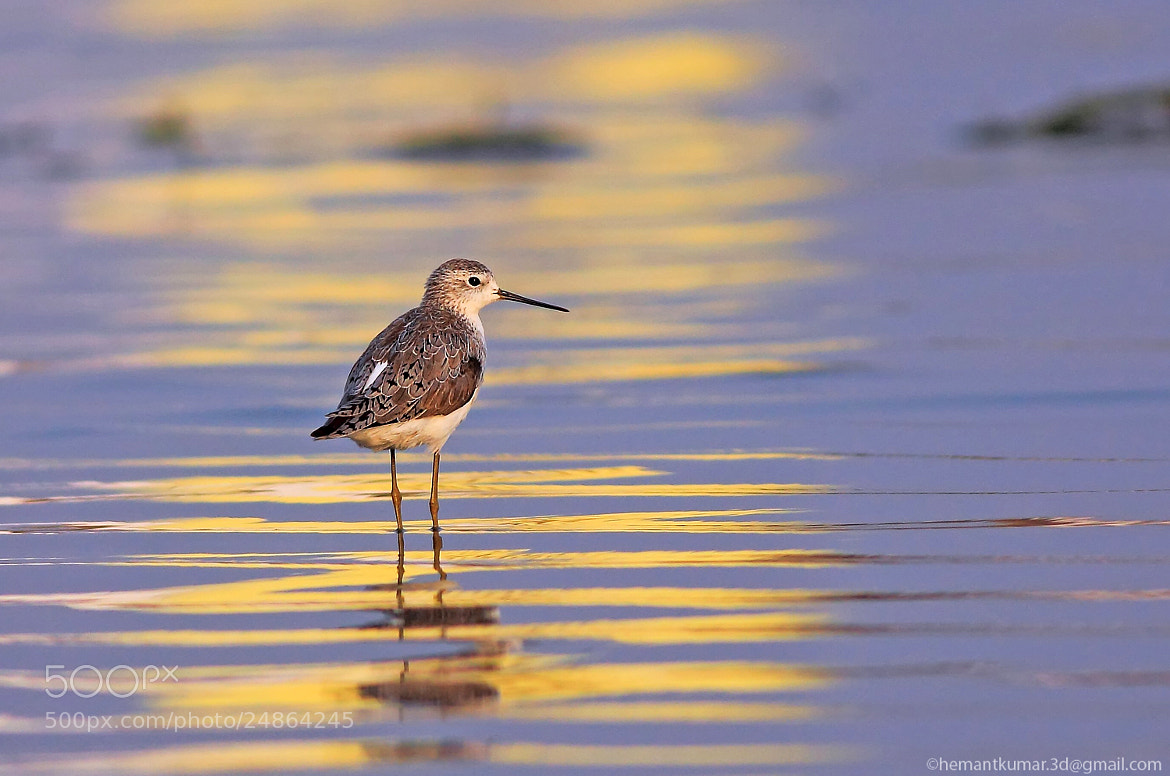 Photograph  sandpiper by Hemant Kumar on 500px