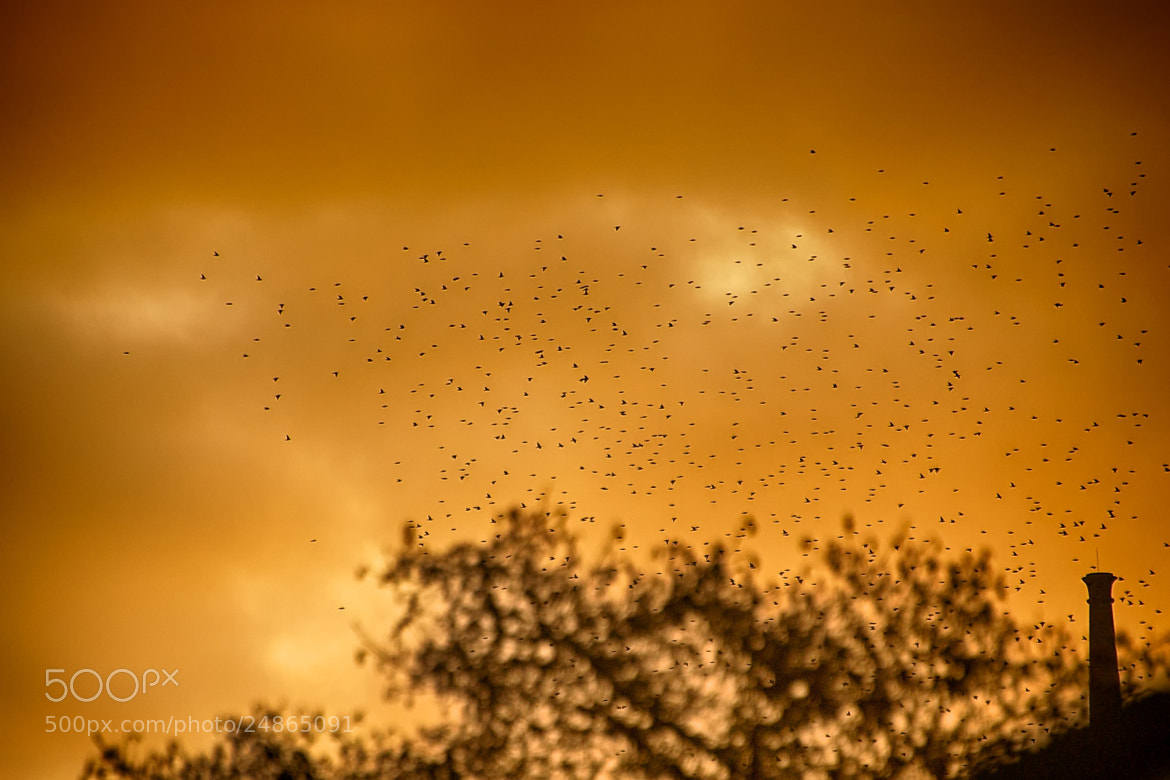 Photograph Starlings over Pen Dinas by Craig Kirkwood on 500px