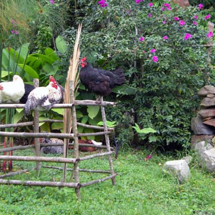 Hens, Nikon COOLPIX S210