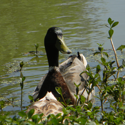 Lone Duck., Nikon COOLPIX L105