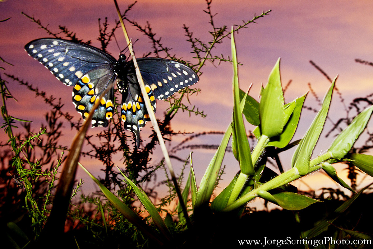 Photograph Spicebush Swallowtail Butterfly At Sunset. by jlsantiago on 500px