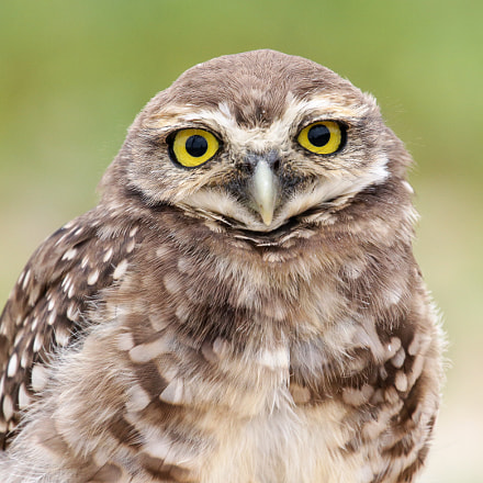 Burrowing Owl at the Beach
