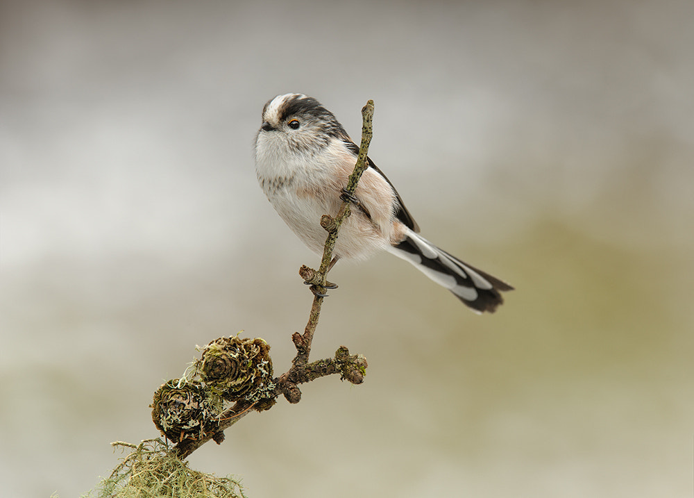 Photograph Long Tailed Tit by Geoffrey Baker on 500px