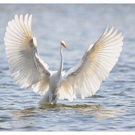 white heron, Nikon D5