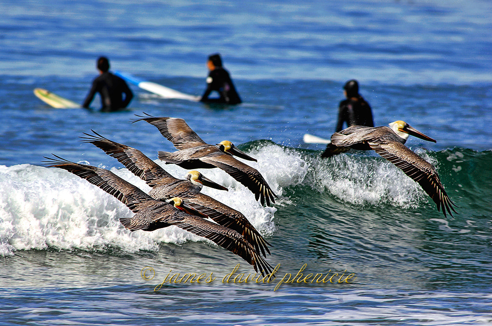Photograph Brown Pelicans and Surfers by James David Phenicie on 500px
