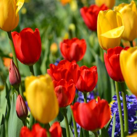 Tulips, Nikon D3100, AF Zoom-Nikkor 75-300mm f/4.5-5.6