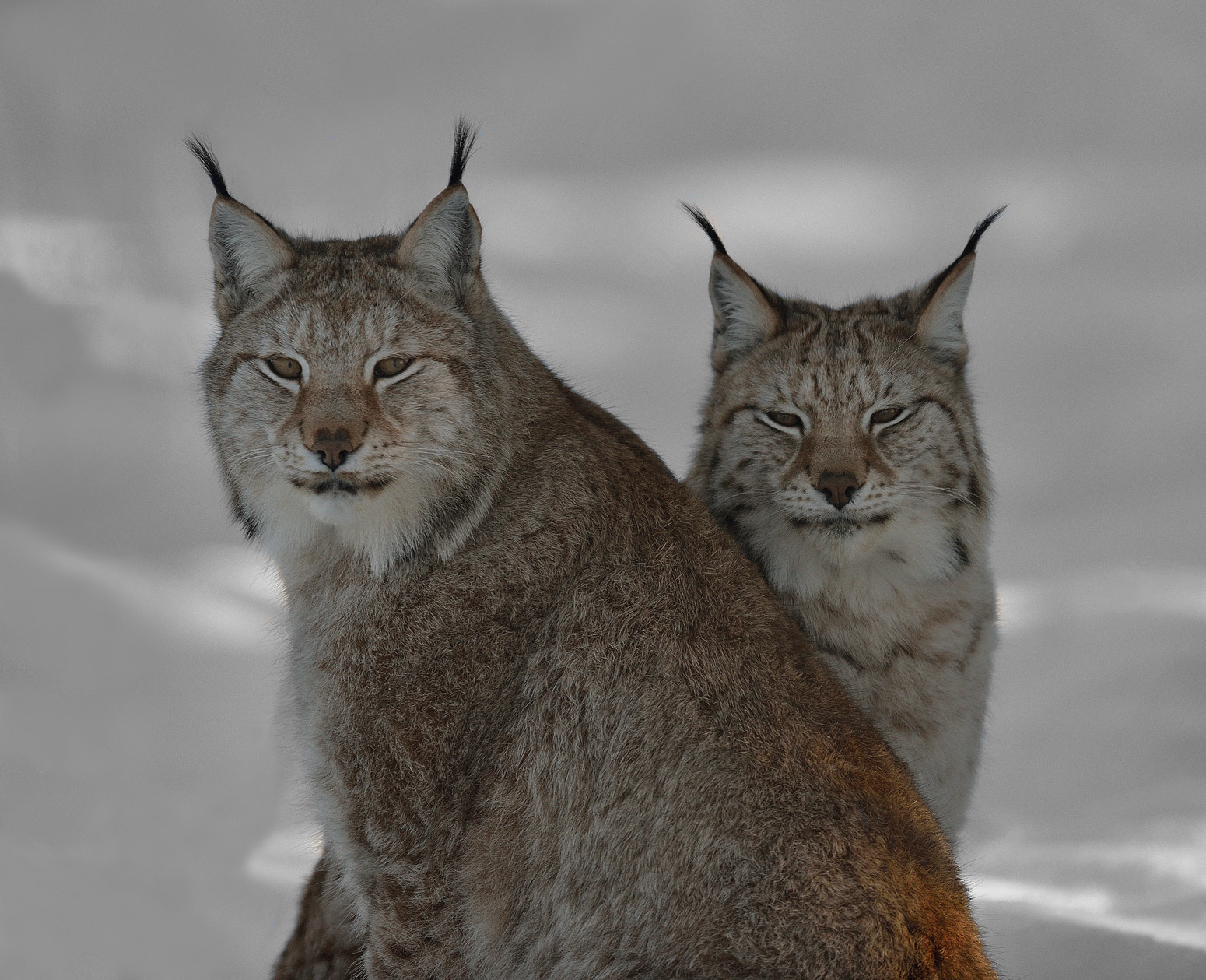Photograph Lynx pair by Ronnie Bergström on 500px
