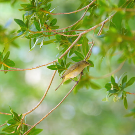 Willow Warbler, RICOH PENTAX K-3, smc PENTAX-F* 300mm F4.5 ED[IF]
