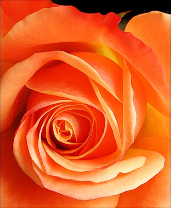 Photograph Only a Rose by Sharon Smith on 500px