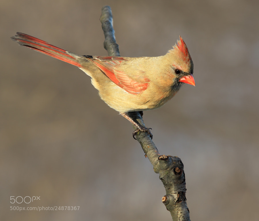 Photograph Female Cardinal 4 by Brian Masters on 500px