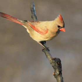 Female Cardinal 4 by Brian Masters (bmasters1)) on 500px.com