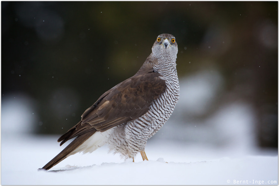 Northern goshawk / Hønsehauk by Bernt-Inge Madsen on 500px.com